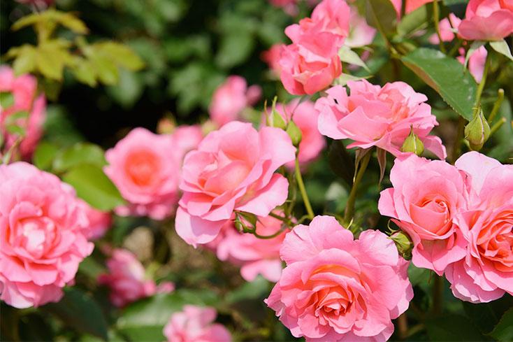 rose bush backyard feature